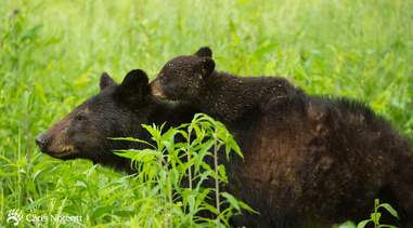 Black bear mom giving piggyback ride to her cub