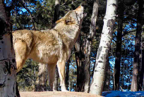 Colorado Wolf and Wildlife Center