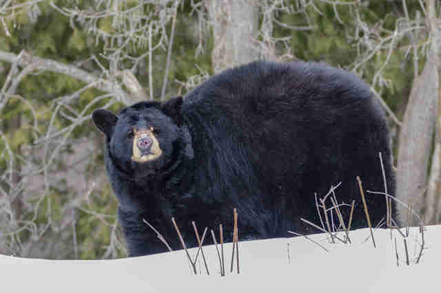 Black bear in the woods in winter