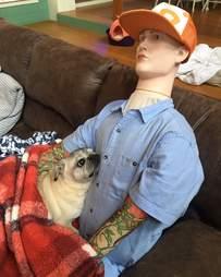 Senior dog snuggles Halloween dummy