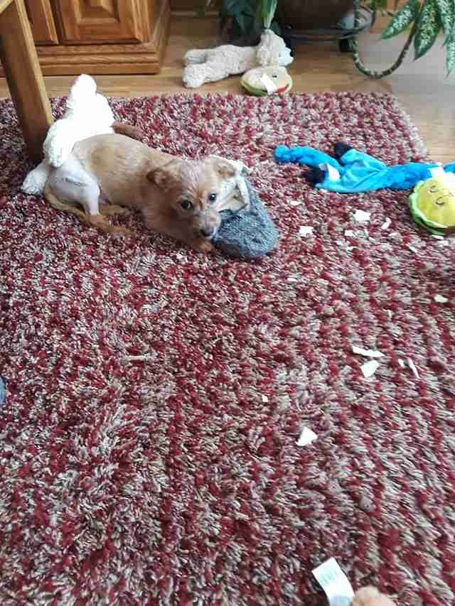 puppy adopted griffith indiana