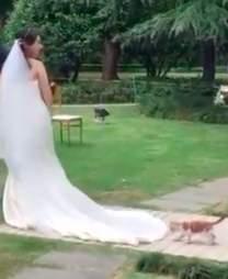 Random cat stalking Chinese bride's wedding dress