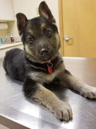 puppy with heart defect