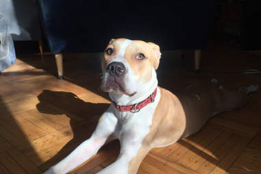 pit bull needs a home