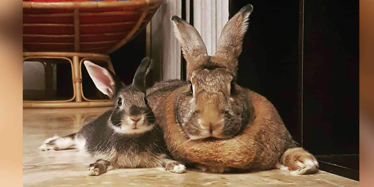 Tiny Rabbit Is Obsessed With Giant Girlfriend Who's 4 Times His Size