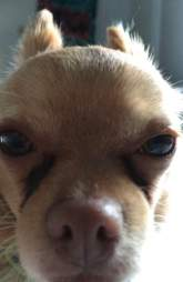 Adorable Chihuahua who took over FaceTiming