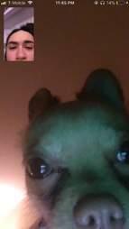 Chihuahua FaceTiming