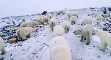 Mass polar bear invasion in Russia