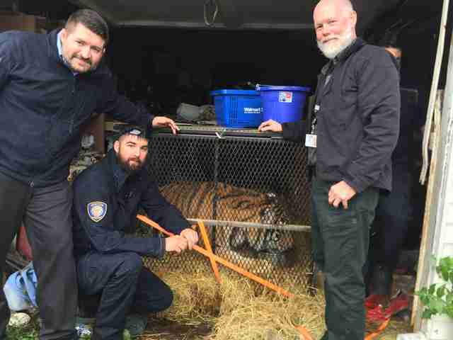 Animal enforcement officials help the tiger