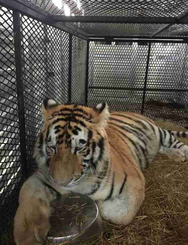 Tyson the tiger heads to his home at Black Beauty Ranch