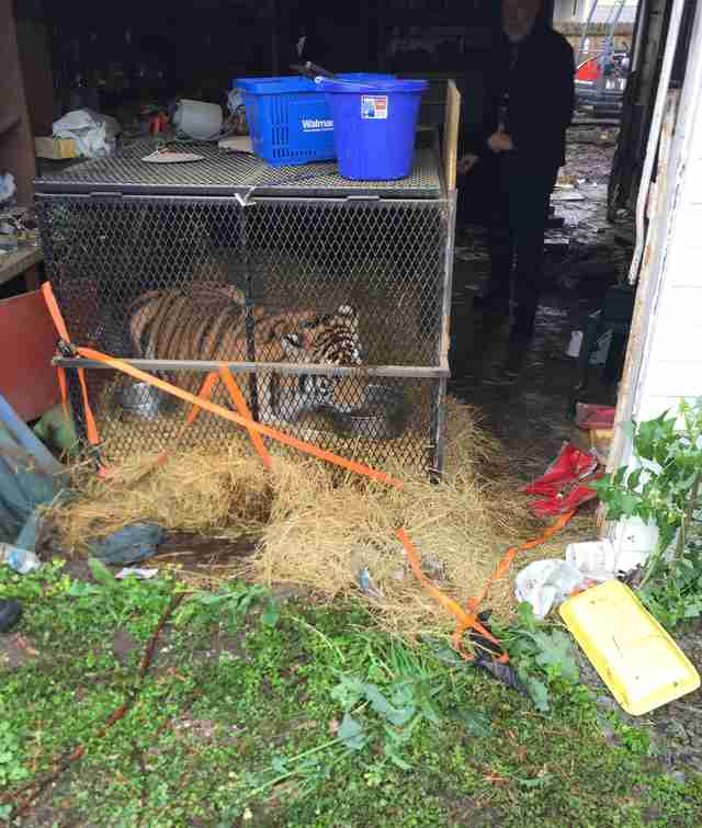 Young tiger found in garage of abandoned Houston home
