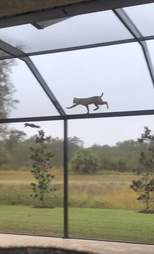 bobcat chases a squirrel