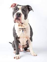 dog rescue pit bull