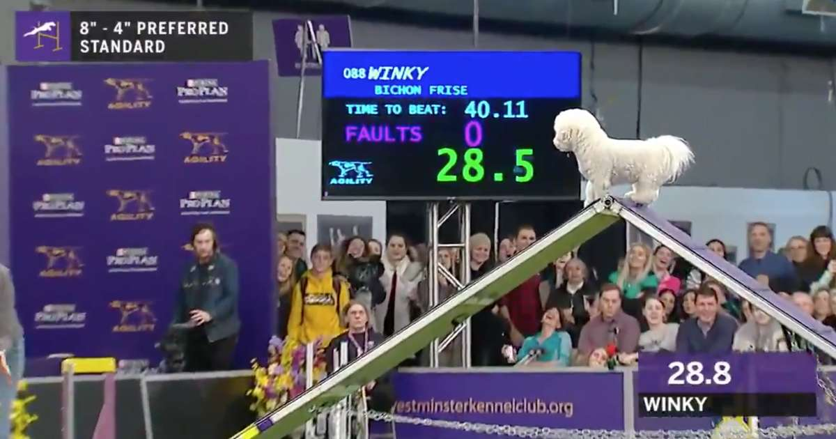 This Adorable Dog Really Took Its Time on the Westminster Dog Show Agility Course
