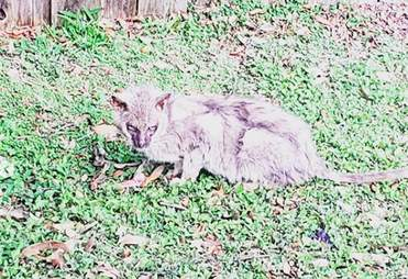 Starving 'werewolf' cat found in apartment complex