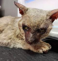 Starving stray 'werewolf' cat caught in apartment complex