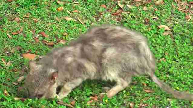 Tiny 'werewolf' cat caught in apartment complex