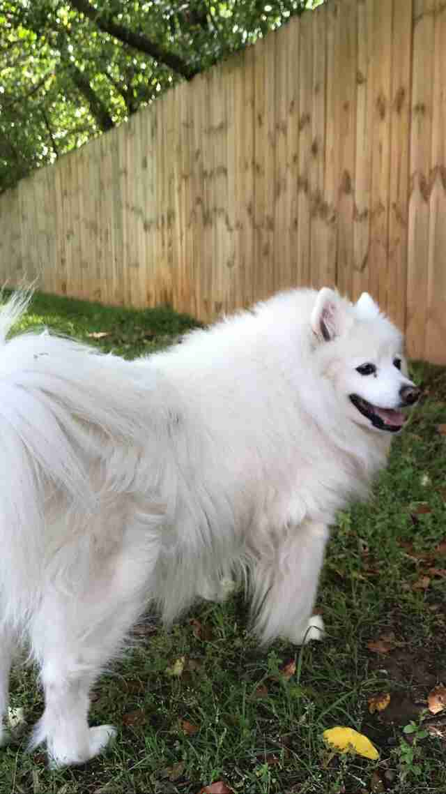Gracie, an American Eskimo dog, in her yard in Alabama