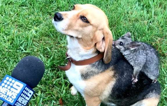 Heartbroken Beagle Who Lost Her Puppies Adopts Possum and Now They're Best Friends