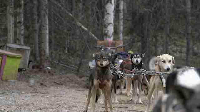sled dog abuse alaska
