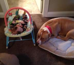 Mellow the pit bull guard his baby brother