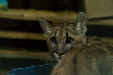 Puma kitten discovered in apartment in Germany