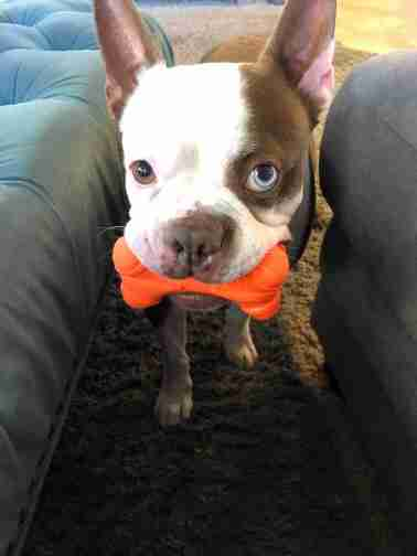Tankers the rescued Boston terrier