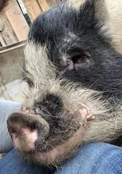 pig rescue texas