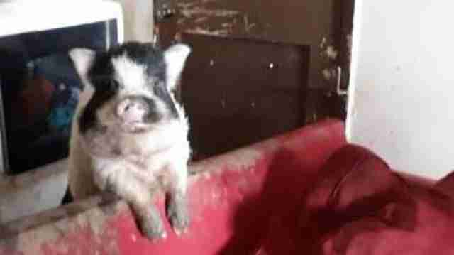 Family Moves Out — And Leaves Cuddliest Pet Pig Behind