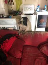 pig rescue apartment texas