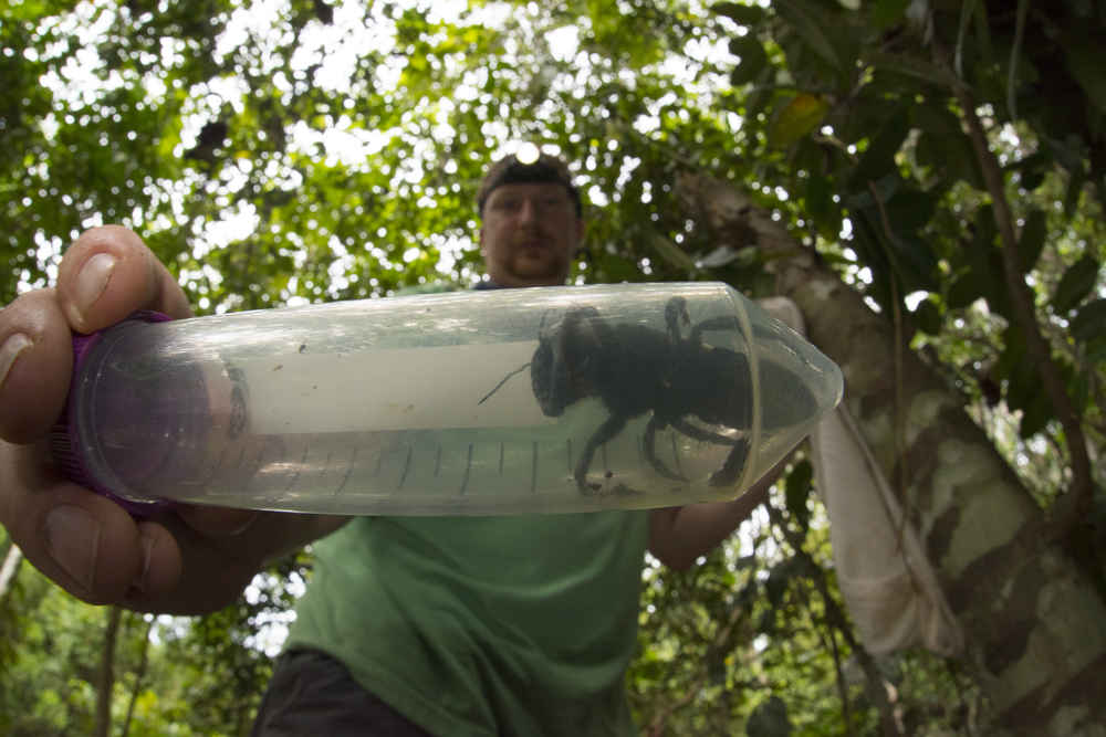 The World's Biggest Bee Was Thought to Be Extinct. It Was Just Rediscovered.