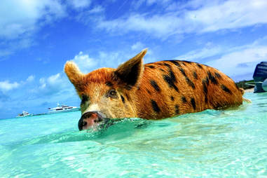 pig swimming exuma