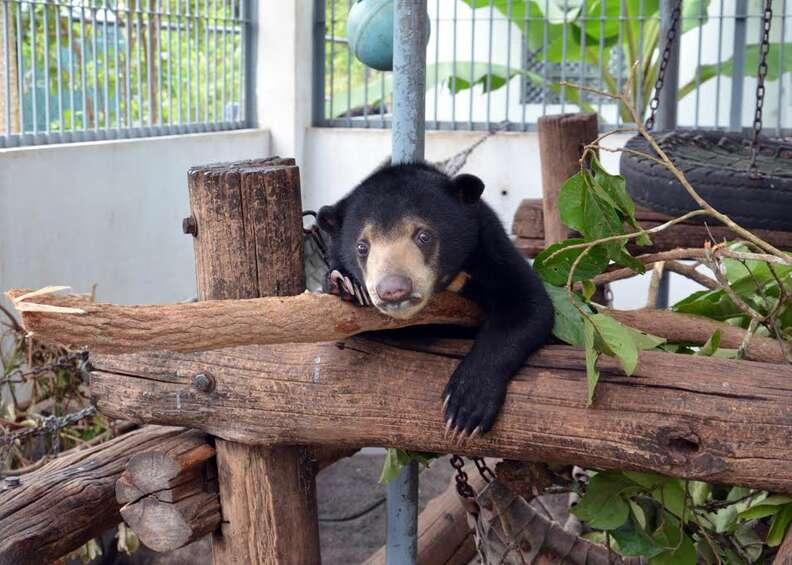 bear rescue cambodia