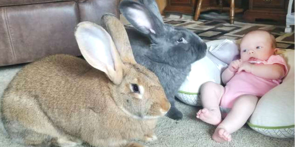 Giant Rabbits Instantly Fall In Love With Their New Baby