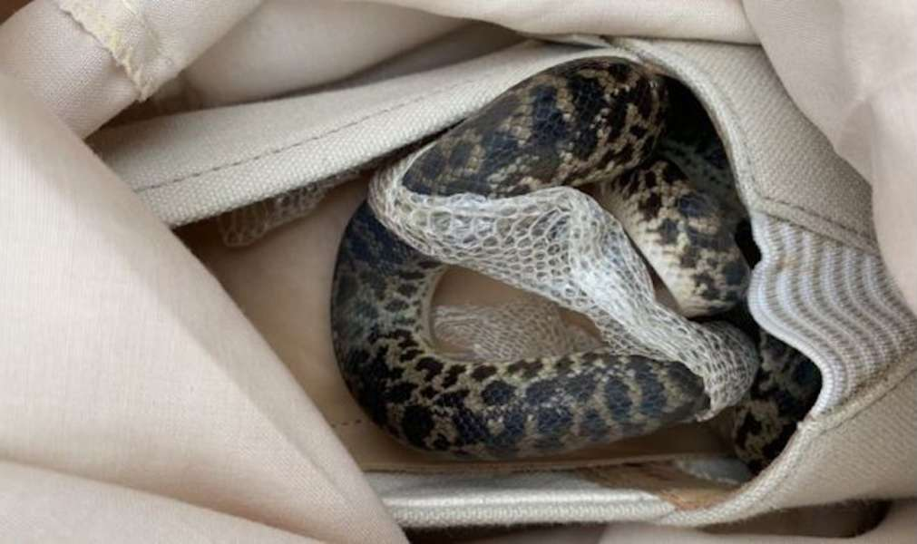 Woman Discovers Python In Suitcase After Flight From Australia - Thrillist