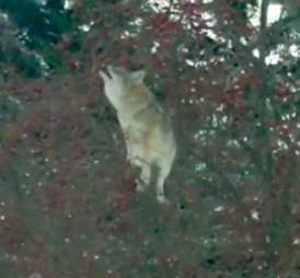 Wild coyote spotted stealing apples from tree in Ontario, Canada