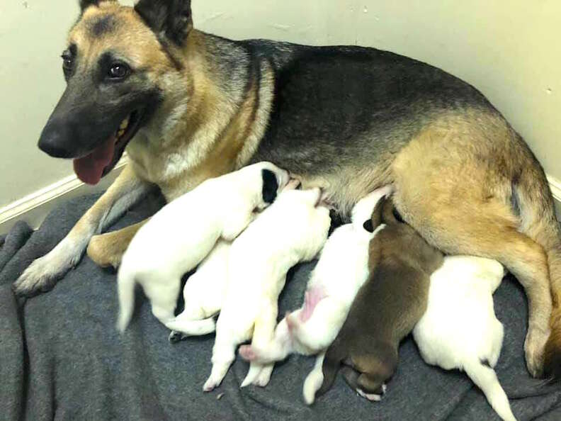 Stray German shepherd surprises rescuer by giving birth to a green puppy