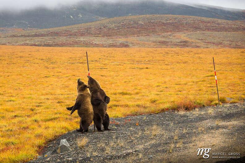 Wild grizzlies go nuts for backscratcher
