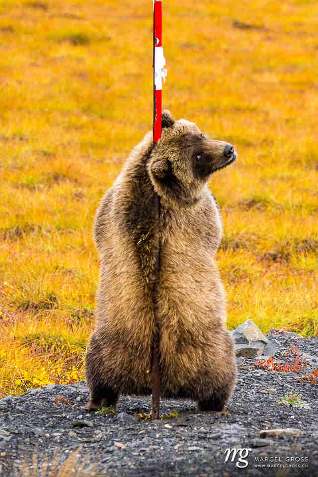 Wild grizzly bear seen scratching back by wildlife photographer