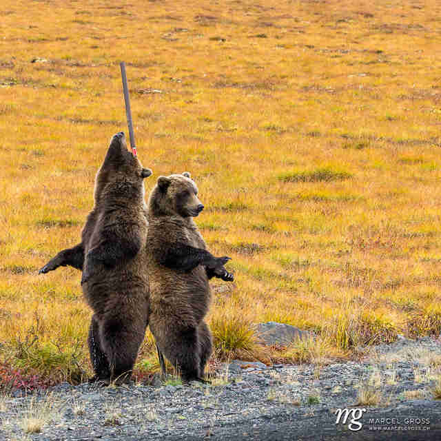 Wild grizzlies getting a backscratch