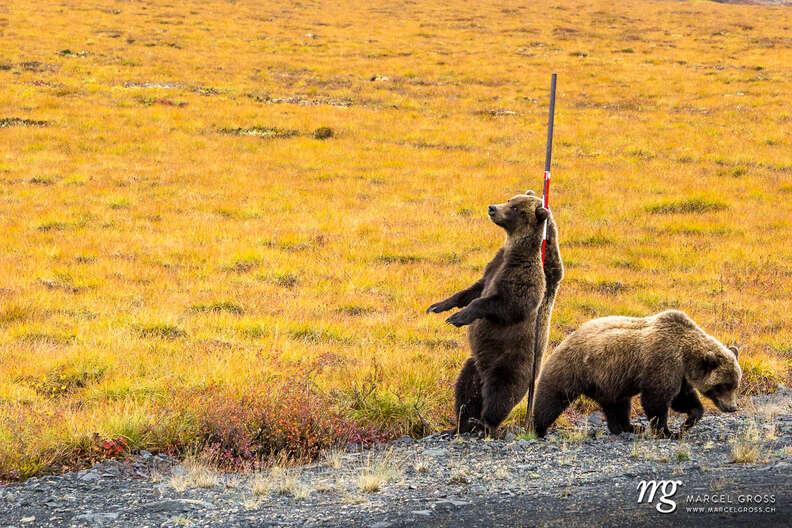 Grizzly bears find big backscratcher