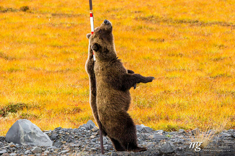 Grizzly bear in the Yukon scratching his back
