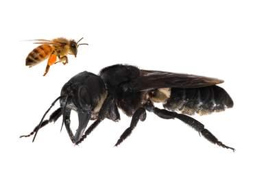 giant bee
