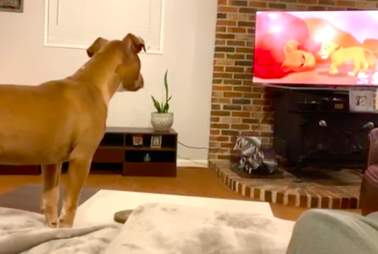 Sensitive pit bull reacting to sad part of The Lion King