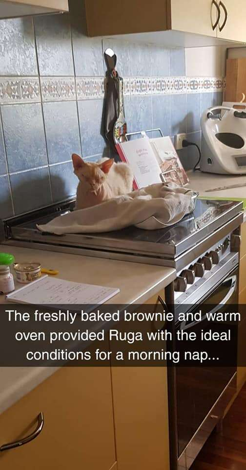 cat sits on brownies