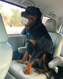 Gus the 100-pound Rottweiler in the car