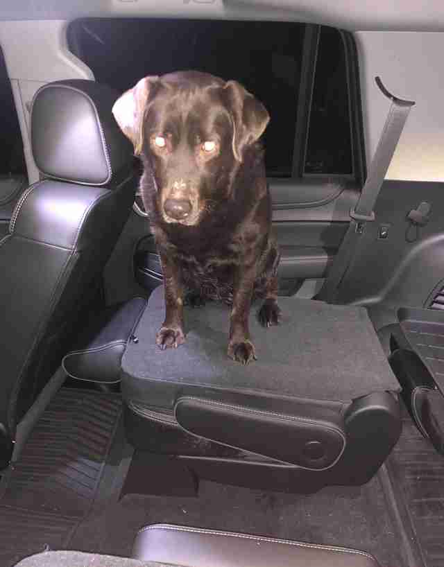 Roxy the lost chocolate Lab safely in a car