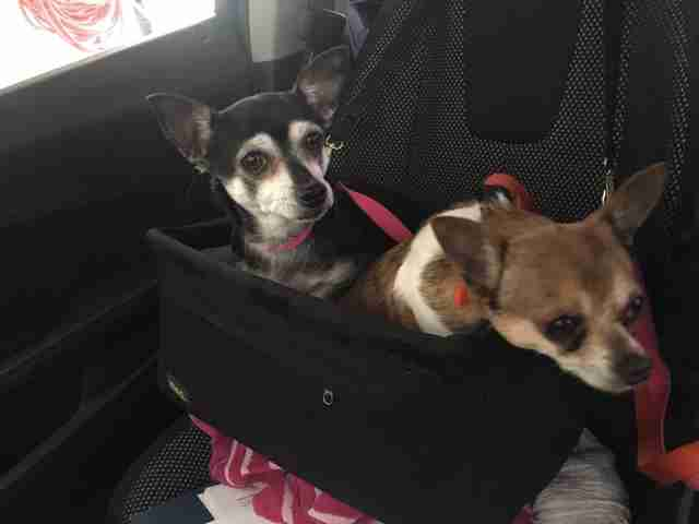 chihuahua couple, dog food, dog walking app