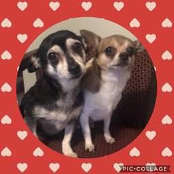 chihuahua couple