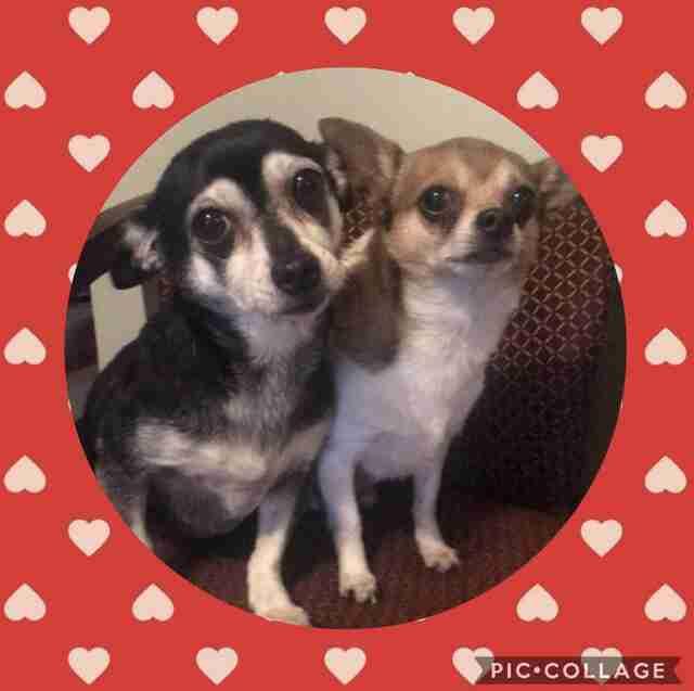 chihuahua couple , dog walker ,
